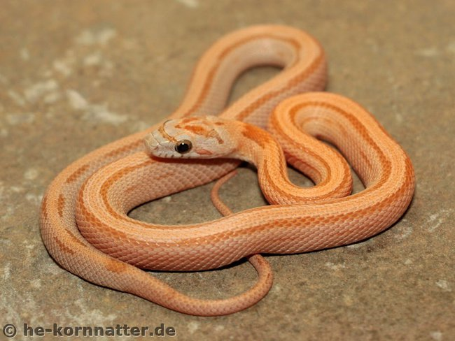 0.1 Hypo Kastanie Striped-1.jpg
