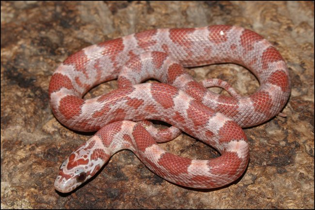klein_0.1 Hypo Sunkissed Bloodred het Caramel ph Anery - out of egg.jpg