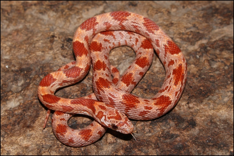 klein_1.0 Hypo Sunkissed het Caramel Bloodred ph Anery 2. Haut.jpg