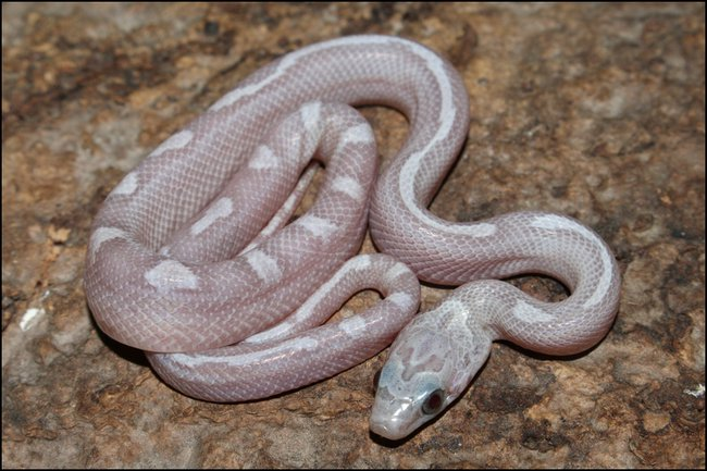 klein_Sunkissed Ghostblood Motley ph Striped - out of egg.jpg
