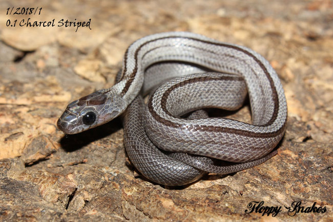1_1_charcoalstriped_female.jpg