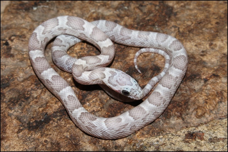 klein_0.1 Sunkissed Ghost het Bloodred ph Charcoal I 1. Haut.jpg