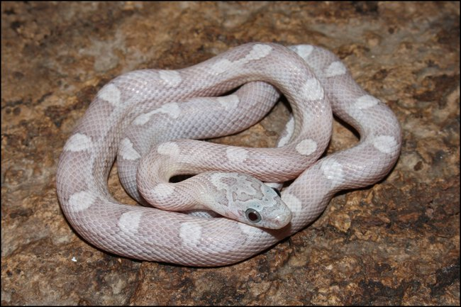 klein_1.0 Sunkissed Ghost Motley het Charcoal Bloodred - 2. Haut 1.jpg
