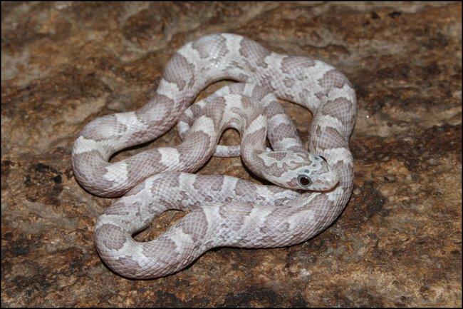 klein_1.0 Sunkissed Ghost het Charcoal Bloodred Motley 2 - 2. Haut.jpg
