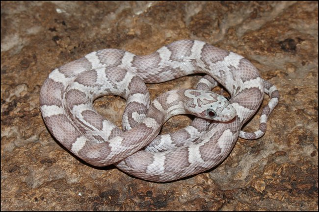 klein_1.0 Sunkissed Ghost het Charcoal Bloodred Motley 3 - 2. Haut.jpg