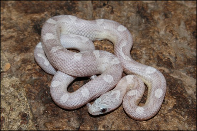 klein_1.0 Sunkissed Ghost Motley het Charcoal Bloodred - 3. Haut.jpg