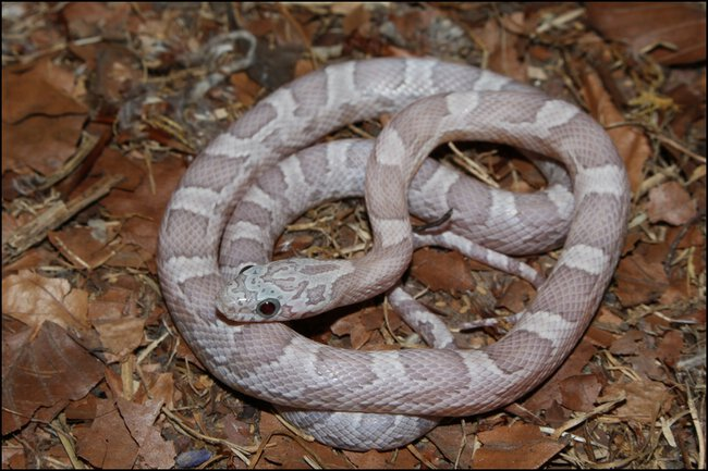 klein_1.0 Sunkissed Ghost het Charcoal Bloodred Motley 1 - 3. Haut.jpg