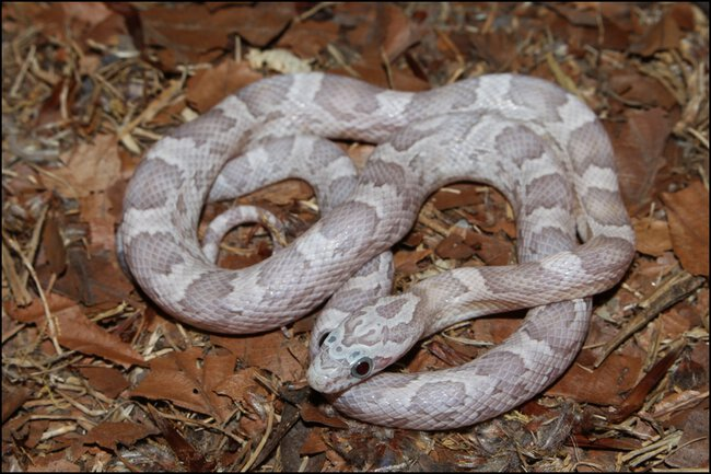 klein_1.0 Sunkissed Ghost het Charcoal Bloodred Motley 2 - 3. Haut.jpg