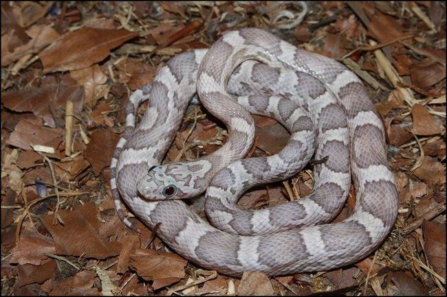 klein_1.0 Sunkissed Ghost het Charcoal Bloodred Motley 3 - 3. Haut.jpg