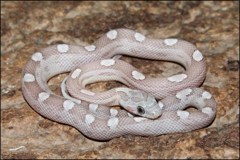 klein_1.0 Ghost Motley-x-Striped het Sunkissed Bloodred V - 2. Haut.jpg